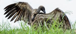 Grooming Vulture by AnneMarks