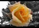 Yellow Rose by RazielMB