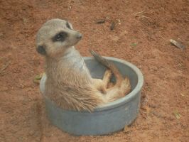 Cute meerkat sitting in bowl 2 by Genbe89