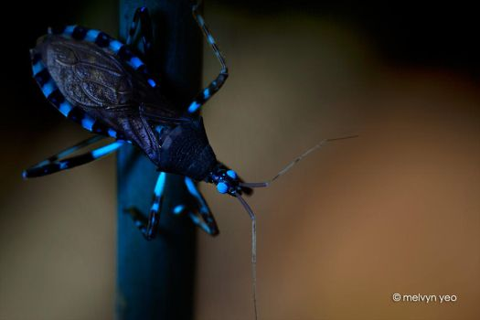 UV Fluorscence Assassin Bug by melvynyeo