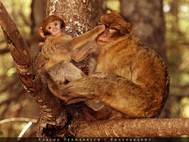 Barbary Macaques in a tree by Solrac1993