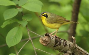 Kentucky Warbler by Ryser915