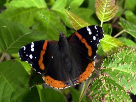 red admiral on poison ivy by kl61
