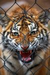Caged Fury III by The-Violet-Lotus