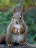 Squirrel 194 by Cundrie-la-Surziere