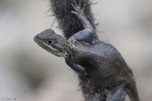 Female agama on a cactus by LordMajestros