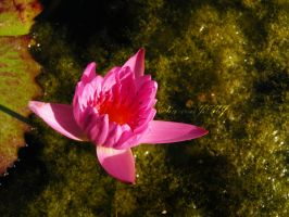 Water Lily by siannajmj