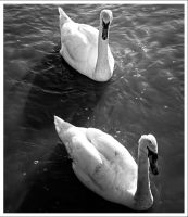 Swans by neoweb