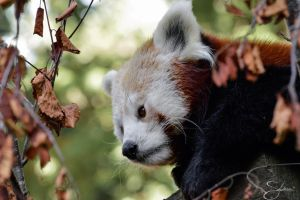 Little red panda by stepheesmq