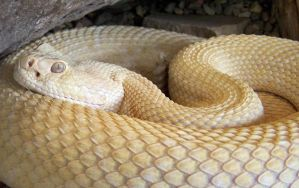 albino rattler by neaters2000
