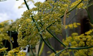 FENNEL RAINFOREST by trevj