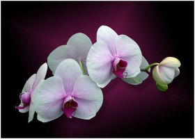 MOTH ORCHIDS by THOM-B-FOTO