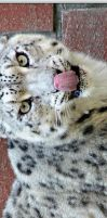 Snow Leopard: 3 Photos by WhiteSpiritWolf