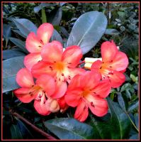 Rhododendron 1 by MadleneP