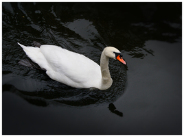 Swan by 1---ROB---1