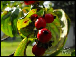 Big Red Berries by jezebe11e