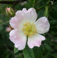 (Pink-White) Rosa Canina / Dog Rose Flower. by Lacrimosa-Angelus