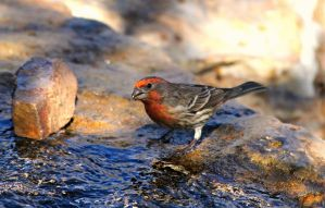 House Finch at the Fountain by Monkeystyle3000