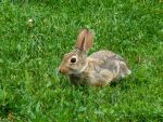 Young Bunny on the Grass by The-WaxBadger