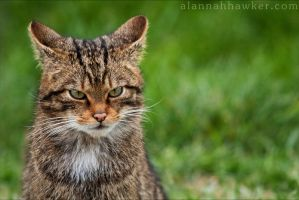 Wild Cat by Alannah-Hawker