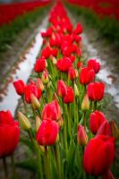 Tiptoe Through the Tulips by JtheQ