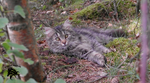 Siberian cat - Jackie by goldenboo