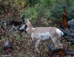 Pronghorn by deseonocturno