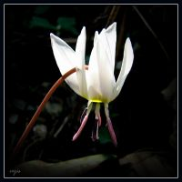 Dogtooth violet by vojis
