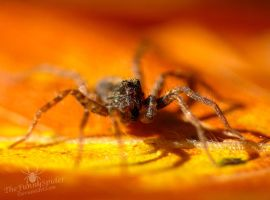 Pretty Wolf Spider :3 by TheFunnySpider