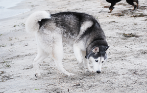 Grey Husky Sniff by CompassLogicStock