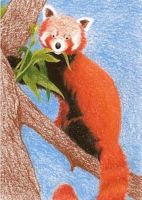 Day 4: Red Panda ACEO by whitetippedwaves