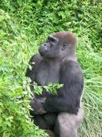 Gorilla01 by piNk-monster156