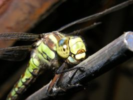 Dragonfly1 by Steelspike