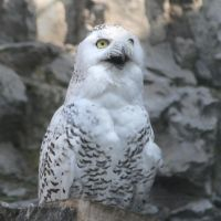 Snowy Owl by Carcaneloce