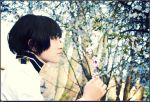 APH:Cherry Blossoms from Japan by rosiael