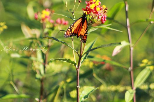 Butterfly by almosawieditor