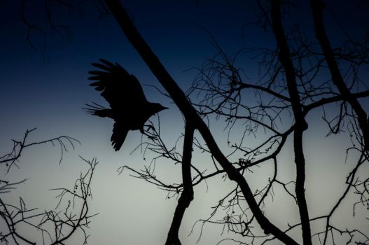 The Raven by msteenphotographer