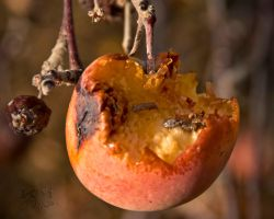 Wicked_Apple by katsabrat