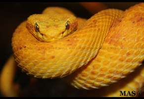 Eyelash Pitviper_8611 by MASOCHO
