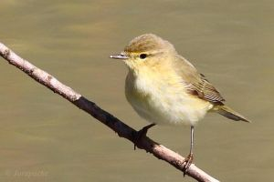 Chiffchaff near the water by Jorapache