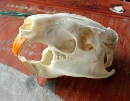 Nutria Skull, For Scraps and More FS! by lupagreenwolf