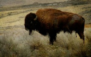 Antelope Island Buffalo 2 by 3feathers