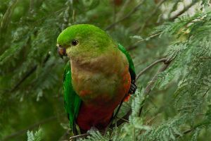 King Parrot female 2 by Dryad-8