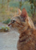 Ginger cat by uwarrior
