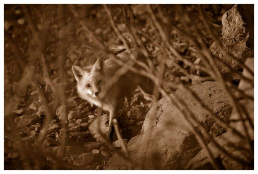 Red Fox by ScottMoore