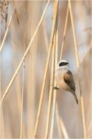 Penduline Tit by ClaudeG