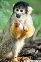 Bolivian squirrel monkey by Chiss-CupCake