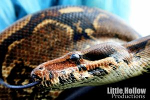 Boa constrictor by Littlehollowphotos