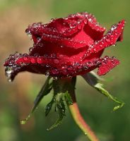 raindrops on roses by SvitakovaEva