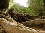Gnarled Roots by signewton